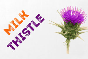 Milk Thistle during a cycle : avoid it for better gains !