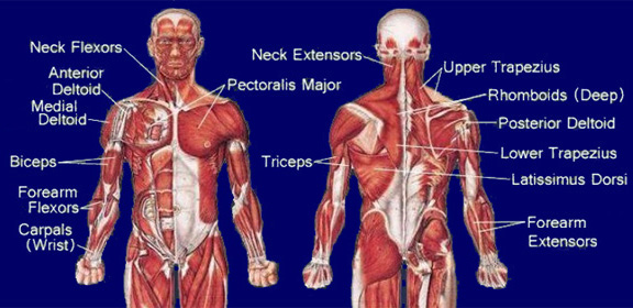 What muscles do pull ups work out?